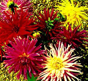 Dahlia Cactus Flowered Mix mixed 120 seeds - Annual