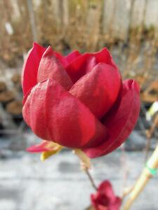 Magnolia-Genie-purpur-Magnolie-90-100cm-Neuheit-Magnolienbaum