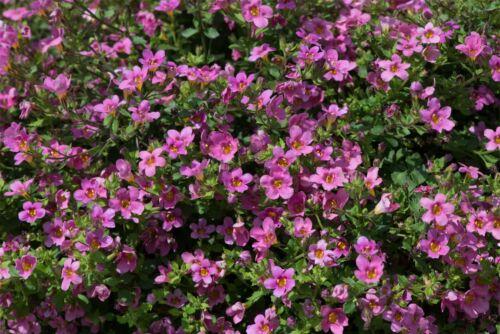 5 graines enrobées Fleur-Bacopa pinktopia