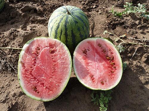 Watermelon COOLNESS or Kholodok non-GMO seeds Ukraine 3 g Farmer/'s dream