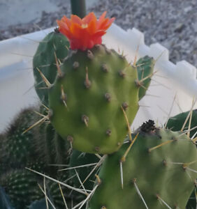 Opuntia-paraguayensis-Compact-Dark-Green-Cactus-Plant-with-Orange-Flowers