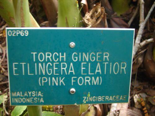 ~PINK TORCH~ Ginger Exotic Etlingera elatior Fresh 15 SEEDS USA seller