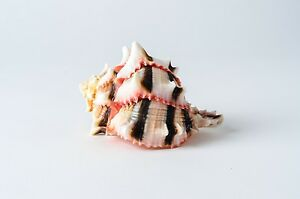 Brassica-Murex-Phyllonotus-erythrostomu-Hermit-Crab-Sea-Shell-3-034-4-034-1-pc-JC-36