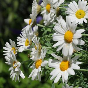 STRAUCHMARGERITE-Saatgut-exotische-Pflanzen-Garten-Saemereien-Balkon-Terrasse