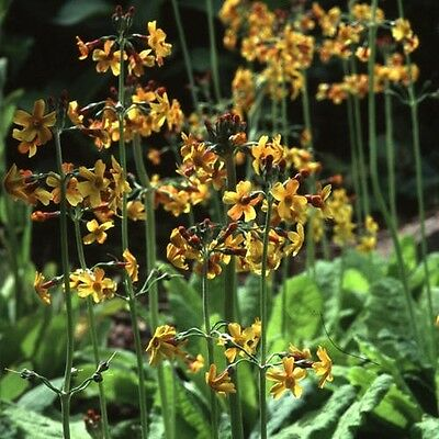 Flower -  Primula Bulleyana - 100 Seeds