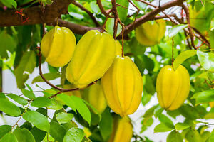 10-SEEDS-AVERRHOA-CARAMBOLA-STAR-APPLE-FRUIT-FRESH-SEED