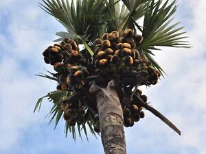 4-X-palmyrah-graines-Palmyra-Palm-Borassus-Flabellifer-asiatique-Fruits-Arbre-non-OGM