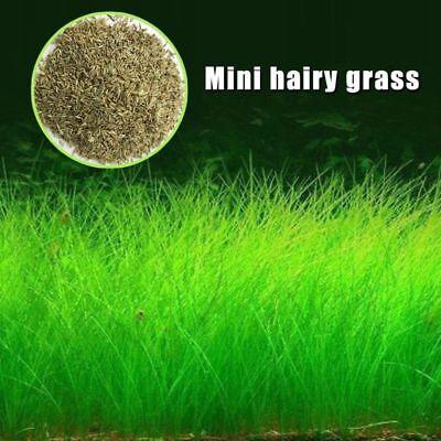 Poity Plant Seeds Fish Tank Aquarium Aquatic Water Grass Decor Garden Foreground Plant Mini hariy Grass