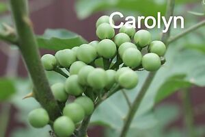 200-Seeds-of-034-Peas-Eggplant-034-Cherry-Eggplant-Turkey-Berry-Prickly-Nightsha