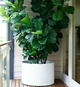 fiddle leaf fig ficus lyrata popular office house plant in 200mm pot ebay. Black Bedroom Furniture Sets. Home Design Ideas
