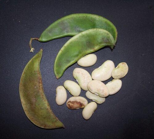Bean LIMA  KING OF THE GARDEN 100 Heirloom Non-gmo Seeds  FREE Shipping
