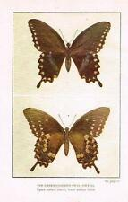 "Weed's ""Butterflies Worth Knowing"" - GREEN-CLOUDED SWALLOWTAIL -  Litho - 1922"