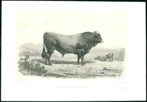 1864-Large-Antique-Lithograph-CATTLE-BULL-TARUREA-GASCON-Baudement-Gascony-3