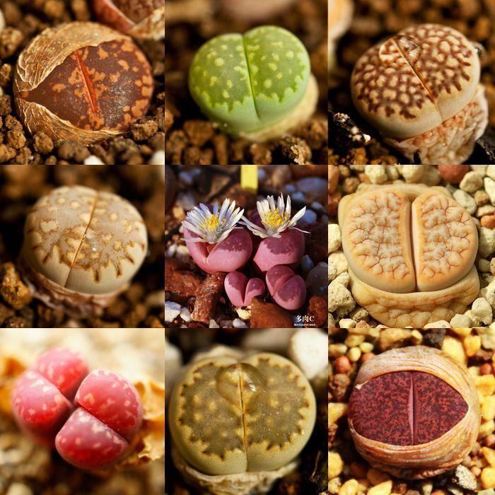100 Rare Mix Lithops Seeds Living Stones Succulent Cactus S016