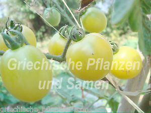 WHITE-CURRANT-Tomate-weiss-Tomaten-Wildtomate-10-frische-Samen-Balkon-Kuebel