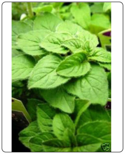 Oregano Italian Great Garden Herb 2,000 Seeds