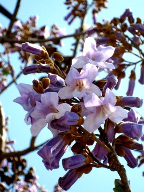 Paulownia tomentosa, Blauglockenbaum, 140/160cm