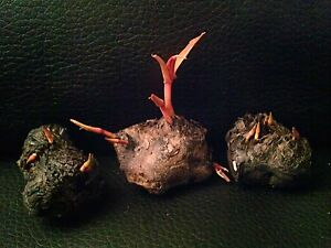 ANGEBOT1-Knolle-Nymphaea-stellata-Sternseerose