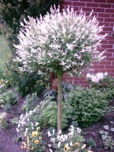 Pflanze Harlekinweide Salix integra Hakuro Nishiki Höhe: 160 cm Dünger