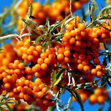 110Pcs Graines Argousier Sea Buckthorn Hippophae Rhamnoides Seeds Shrub Berries