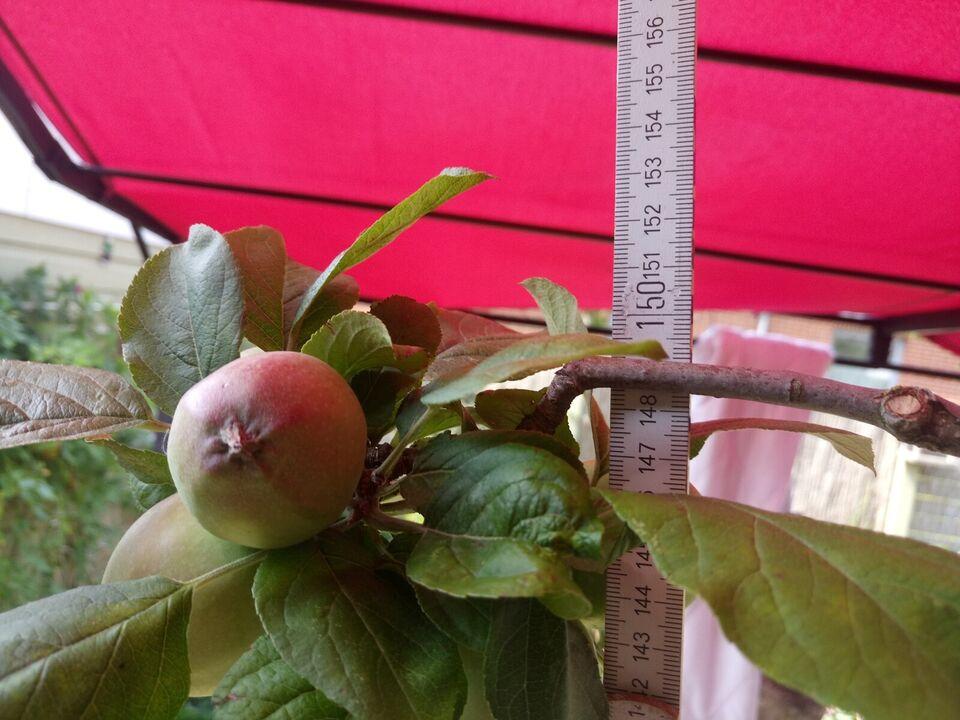 espalie æbletræ