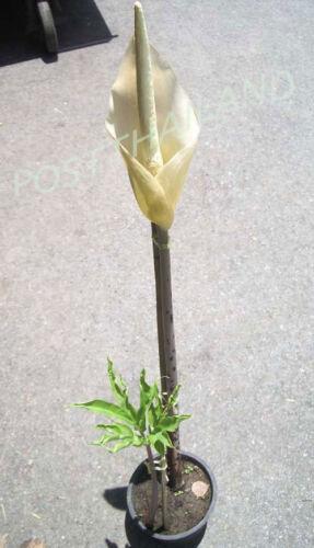 FREE Phytosanitary Certificate Bulb AMORPHOPHALLUS ASTEROSTIGMATUS Aroid Plant