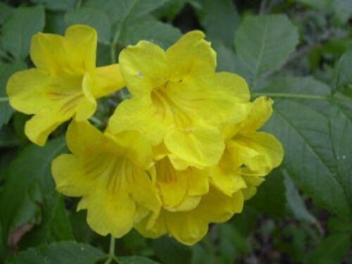 Tecoma stans yellow bells beautiful flowering shrub fresh tecoma stans yellow bells beautiful flowering shrub fresh seeds mightylinksfo