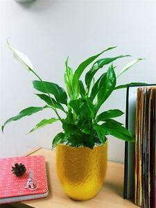 Image Is Loading Luxury Peace Lily Spathiphyllum Indoor Office Plant Gold