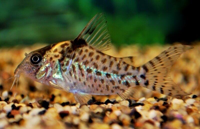 5 (cinque) x corydoras agassizii (pesce gatto, a puntini Cory)