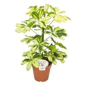 Image Is Loading Schefflera Arboricola  039 Charlotte 039 Plant Umbrella Plant