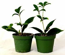 """Sweet Olive Tree Osmanthus Houseplant  2 Pack of 4"""" Pot Indoors Plant Best New"""