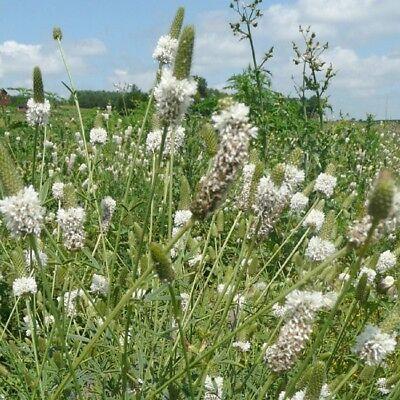 White Prairie Clover Dalea Candida 500 Seeds