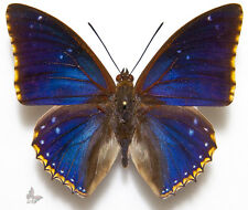 Charaxes bipunctatus,UNMOUNTED butterfly