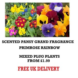 PRIMROSE-PANSY-SCENTED-MIX-BEDDING-HANGING-BASKET-PLANTS-PERENNIAL-plugplants