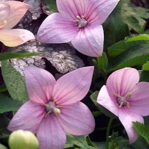 PLATYCODON GRANDIFLORUS 40 TALL BALLOON ROSE PINK PERENNIAL FLOWER SEEDS
