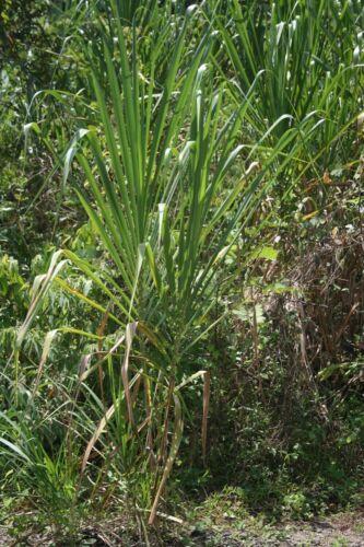 20 x Gynerium Sagittatum GRASS SEEDS