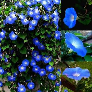 1500pcs-MORNING-GLORY-Seeds-Heavenly-Blue-ANNUAL-FLOWER