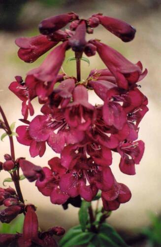 Pack x6 Penstemon /'Raven/' Perennial Garden Plug Plants