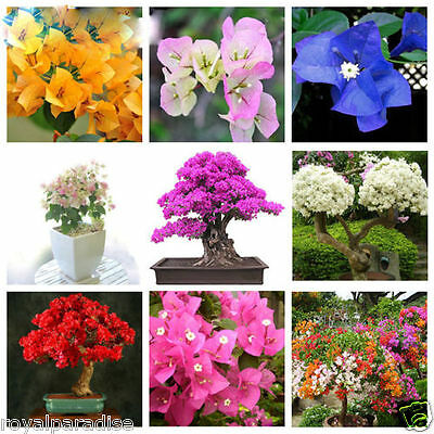 10 Seeds Mixed Colour Bougainvillea Bonsai Flower Seeds Limited Stock