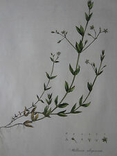 CURTIS Flora Londinensis 1st. Edition Stellaria Bog Stichwort - 1777
