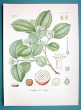STRYCHNINE TREE Medicinal Strychnos Nux - Beautiful COLOR Botanical Print
