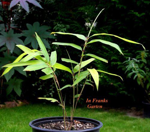 Riesen-Bambus Moso@ Phyllostachys pubescens edulis@Winterhart@essbar@ 10 Samen