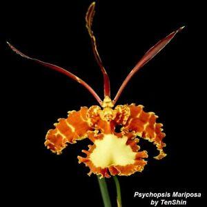 Psychopsis-Mariposa-3-1-4-039-039-Pot-P710