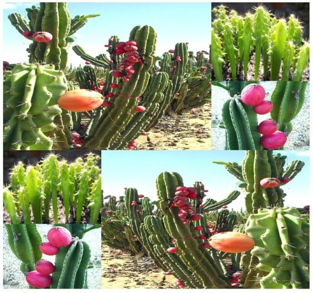 BULK Cereus repandus - PERUVIAN APPLE CACTUS - Night blooming cactus fig - SEEDS