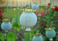 AMAPOLA COGOLLO GIGANTE giant poppy  200 Semillas Seeds