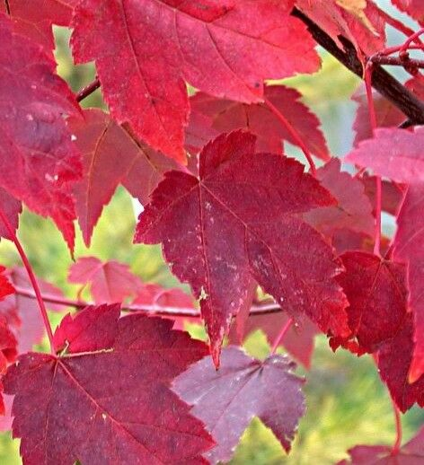Burgundy Belle Maple Tree Live Established Rooted 1 Plant In