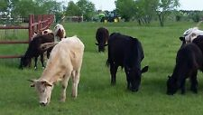 CATTLE/STEERS FOR SALE, ALL NATURAL AND  RAISED ON PASTURE GRASS