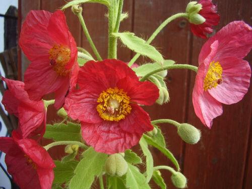"""Meconopsis Nepaulensis /"""" Satin Poppy/""""  /""""Nepal Poppy/"""" x Fresh Seed"""