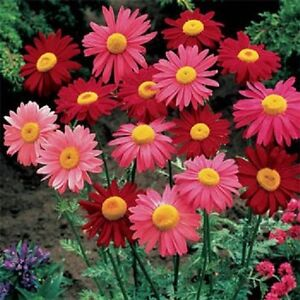 Chrysanthemum-Seeds-Coccineum-Robinson-Mix-500-Seeds-Perennial