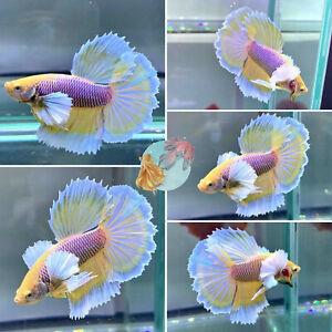 *Pineapple Dumbo Halfmoon* - Live Halfmoon Male Betta Fish High Quality